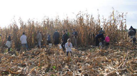 Ferme de Jarouilles : récolte de maïs...