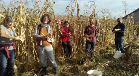 Ramassage du maïs  à la Ferme des Jarouilles