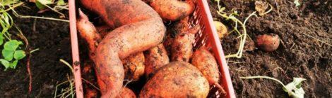 Chantier  patates douces au Jardin en Equilibre