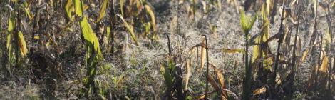 Ramassage du maïs semence à La ferme des Jarouilles